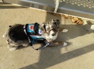miniature_american_shepherd_migraine_alert_medical_alert_service_dog-jpg_03