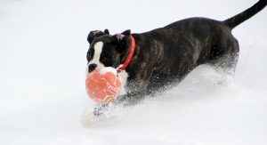 Pet Black And White Boxer Ball Dog Run Snow Play